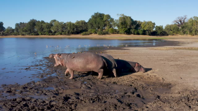 Aerial view of five hippopotamus lying on a riverbank, one gets up and walks into river, Zimbabwe