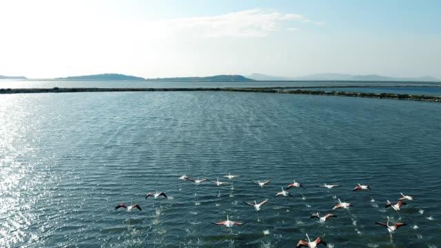Aerial View of Flock of Flamingos video
