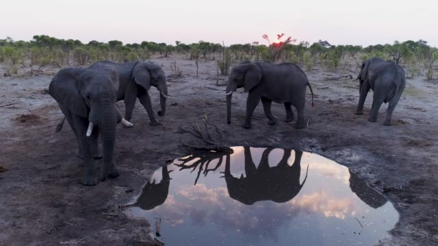 Aerial view of four elephants at sunset drinking infront of the underground photography hide at Hyena Pan, Khwai Private Reserve, Botswana video