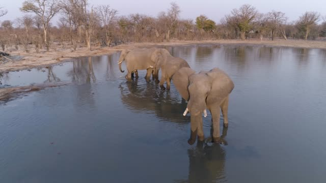 Aerial view of four elephants standing in a waterhole, drinking, Botswana video