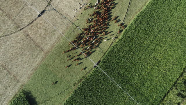 Aerial view of free range cattle and sheep video