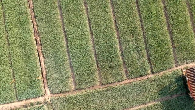 Aerial view of garlic field - video