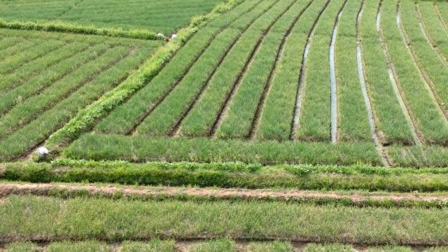 aerial view of garlic field - чеснок стоковые видео и кадры b-roll