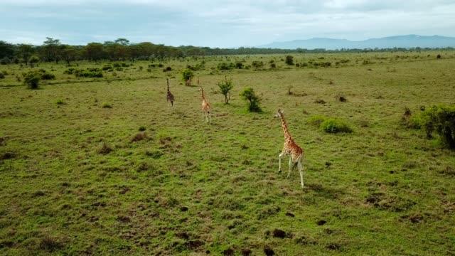 vídeos de stock e filmes b-roll de aerial view of giraffe family in african savannah in lake nakuru national park, kenya - quénia