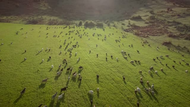 Aerial view of goats grazing in field on farmland in Greece.