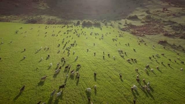 vídeos de stock, filmes e b-roll de vista aérea de cabras pastando no campo em terras públicas na grécia. - manada