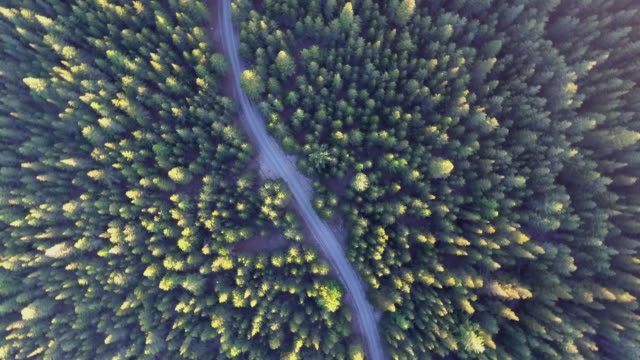 Aerial view of Golden pine tree video