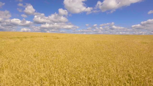 の航空写真ゴールド麦畑。空中ビデオ - 大麦点の映像素材/bロール
