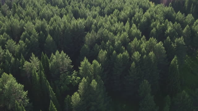 Aerial view of green conifers trees in countryside woodland. Drone s above colorful texture in nature. Aerial drone view of big dense forest with green vegetation in countryside. - video