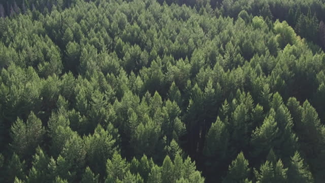 Aerial view of green conifers trees in countryside woodland. Drone zoom out spins above colorful texture in nature. Aerial drone view of big dense forest with green vegetation in countryside. - video