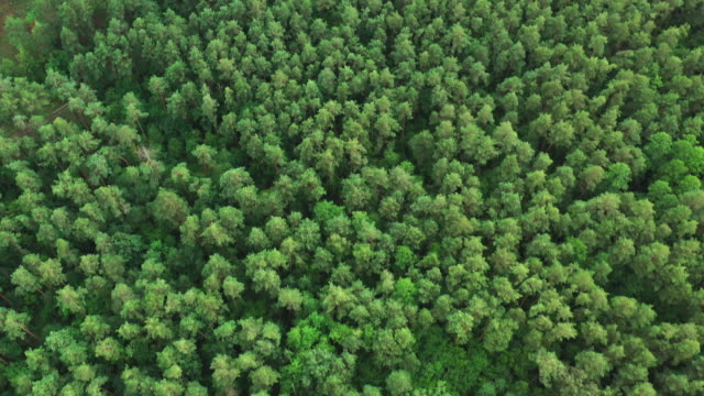 aerial view of green forest landscape. top view from high attitude in summer evening. natural backdrop background of coniferous forest. drone view. bird's eye view - pinaceae filmów i materiałów b-roll