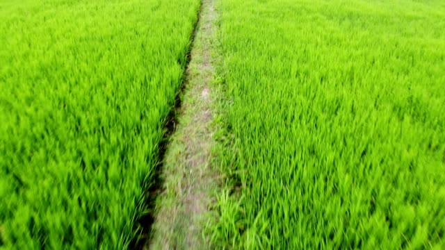 aerial view of green rice field paddy - scanalato video stock e b–roll