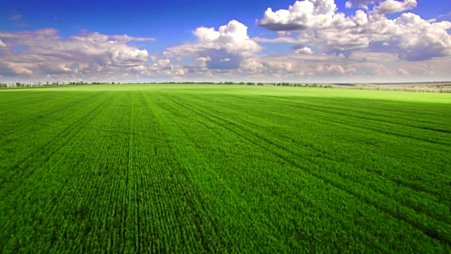 Aerial view of green wheat field video