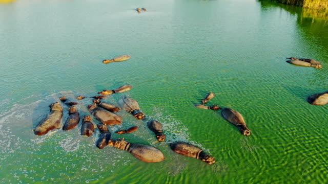 vidéos et rushes de vue aérienne du groupe d'hippopotames dans le lac. - animaux à l'état sauvage