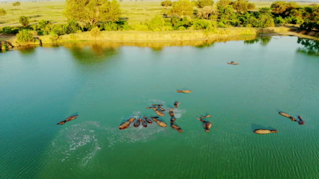 Aerial view of group of Hippos in the lake. Flying above Hippopotamus in river in African wilderness. tanzania stock videos & royalty-free footage