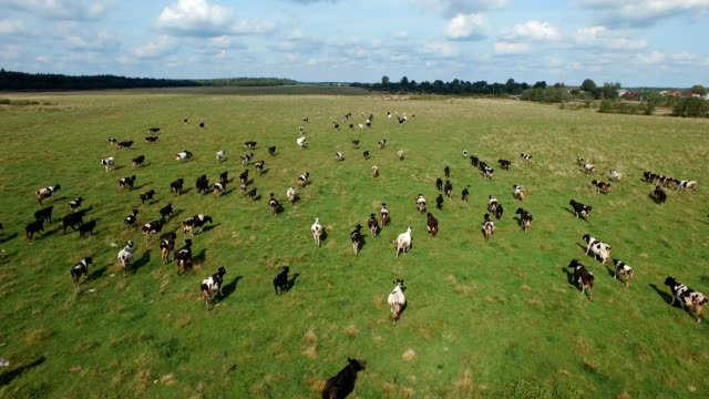 aerial view of herd of cows at summer green field video