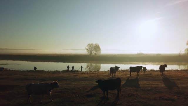vidéos et rushes de vue aérienne du troupeau de vaches dans le soleil du matin et le brouillard - vache laitière