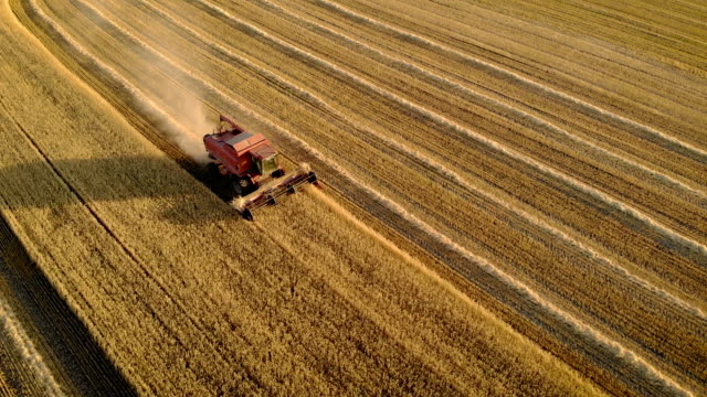 Aerial view of large red combine harvester in action on wheat field farming