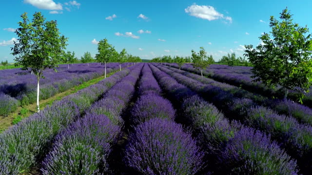 Aerial view of lavender garden with trees in countryside rural meadow. video