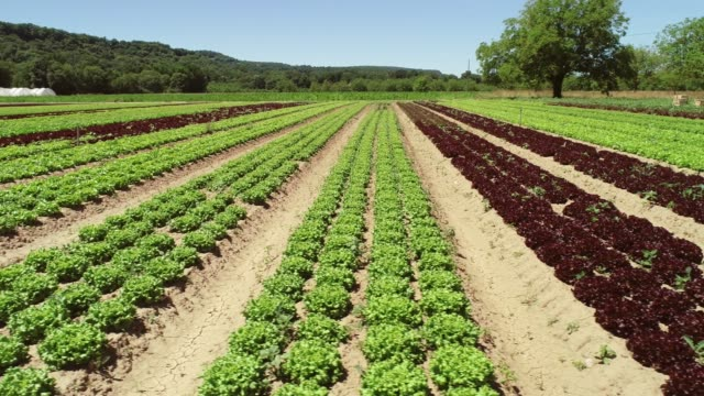 aerial view of lettuce agriculture. - insalata video stock e b–roll