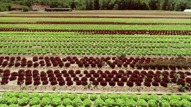 レタス農業の空撮。 ビデオ