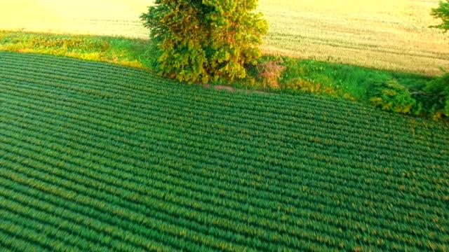Aerial View of Lush Farm Fields, Soybean, Wheat, Corn video