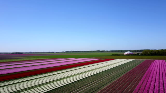 Aerial view of multi-colored tulip field Top to bottom pan of a multi-colored tulip field in the Netherlands 天の川 stock videos & royalty-free footage