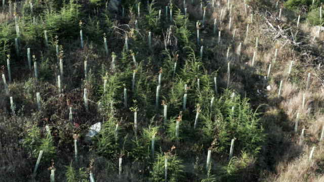 Aerial view of newly planted trees on a hillside in Dumfries and Galloway 4K drone footage of newly plated trees in a woodland area in south west Scotland. The trees are kept in a plastic tube to avoid being destroyed by animals. galloway scotland stock videos & royalty-free footage
