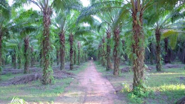 vídeos de stock e filmes b-roll de aerial view of oil palm plantation at phang nga province thailand - oleo palma