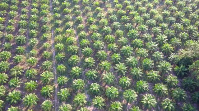 vídeos de stock e filmes b-roll de aerial view of oil palm plantation palm garden - oleo palma