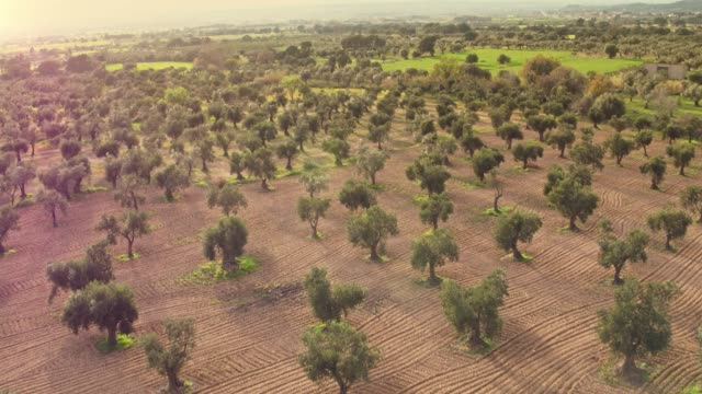 aerial view of olive tree field - oliva video stock e b–roll