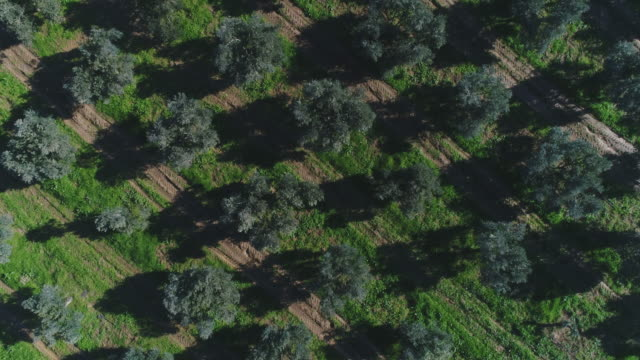 aerial view of olive trees trees grown to obtain olive oil olives stock videos & royalty-free footage