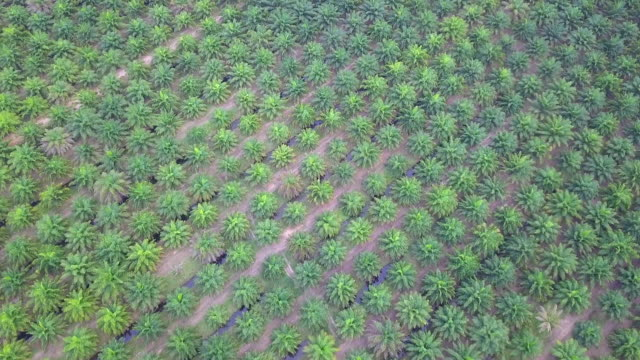 aerial view of palm oil plantation at thailand - piantagione video stock e b–roll