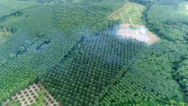 aerial view of palm oil plantation - piantagione video stock e b–roll