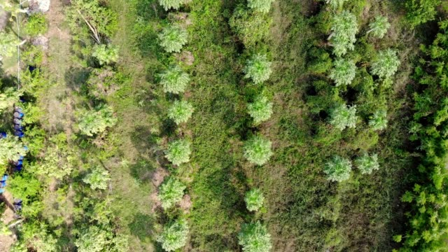 Aerial view of Papaya trees growing in plantation