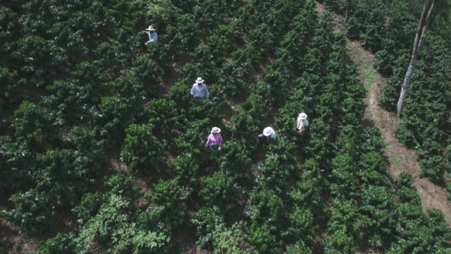 aerial view of people collecting coffee beans in a coffee farm - coffee farmer video stock e b–roll