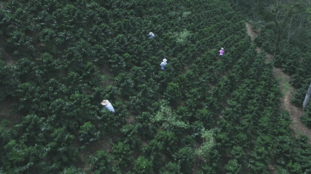 aerial view of people in a coffee harvest collecting beans - coffee farmer video stock e b–roll