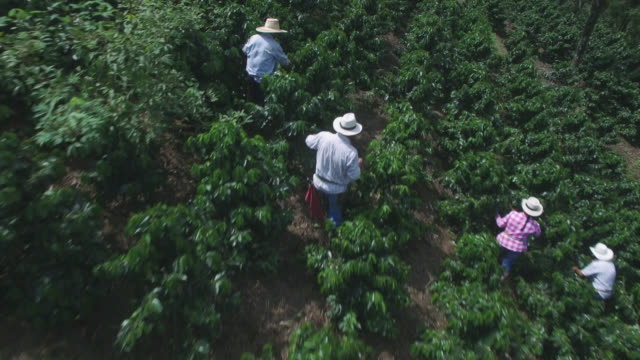 vídeos de stock e filmes b-roll de aerial view of people in a coffee harvest collecting beans - farmer