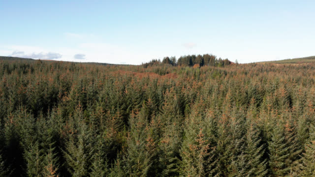 Aerial view of pine forest in Dumfries and Galloway video