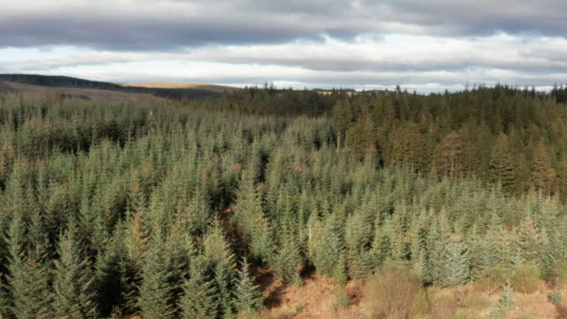 Aerial view of pine forest in Dumfries and Galloway 4K drone footage of a woodland area in south west Scotland galloway scotland stock videos & royalty-free footage