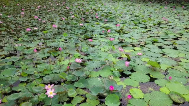 Aerial view of pink lotus flower plant in the big lake during summer