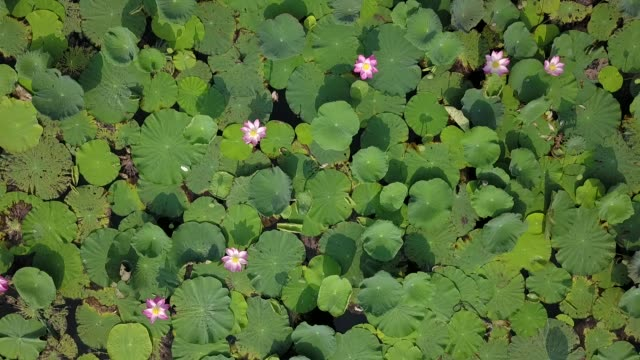Aerial view of pink lotus flower plant in the big lake