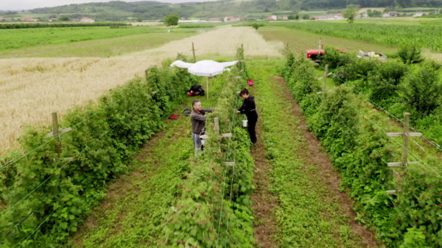 aerial view of raspberries field. people work on the raspberry plantation - ribes rosso video stock e b–roll