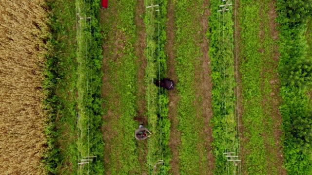 Aerial view of raspberries field. People Work On The Raspberry Plantation