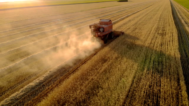 Aerial view of red combine harvester mows ripe wheat by cutting spikelets with scissors and leaving behind of straw and dust