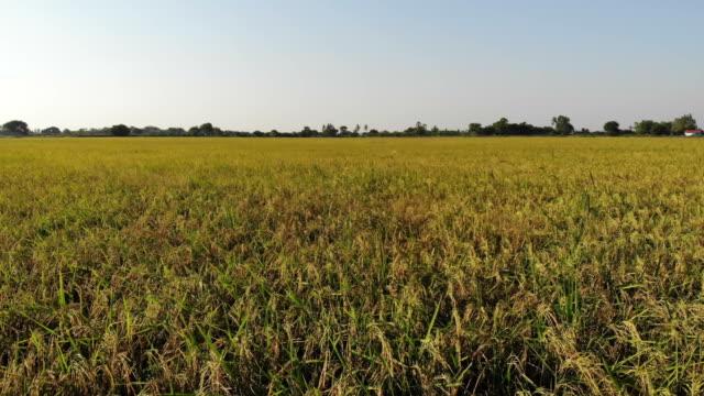 タイの田んぼの空撮 - 稲点の映像素材/bロール
