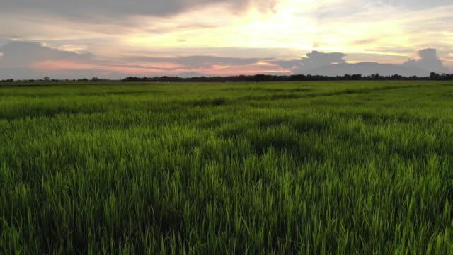 aerial view of rice field terrace with sunset by drone - taras ryżowy filmów i materiałów b-roll