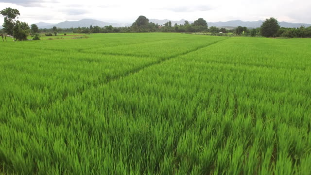 vídeos de stock e filmes b-roll de vista aérea de arroz paddy - multicóptero