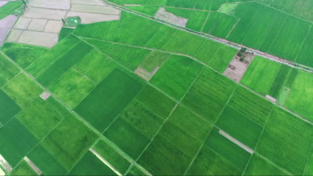 aerial view of rice paddy video