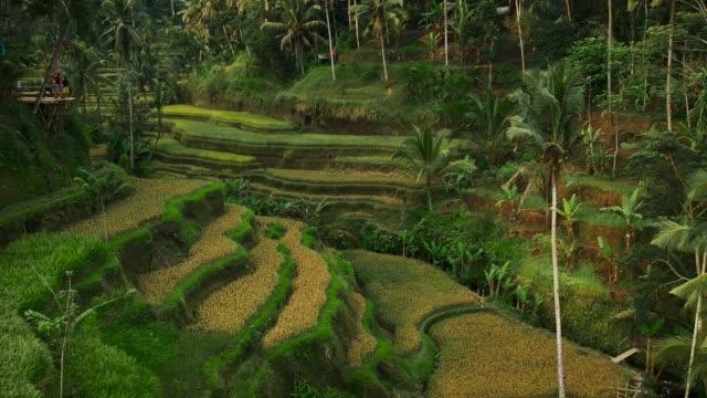 aerial view of rice terraces - taras ryżowy filmów i materiałów b-roll